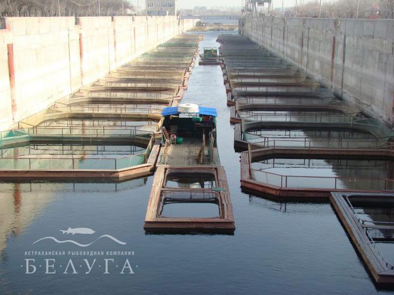 Рыбоводная компания белуга